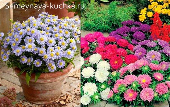 цветы астры осенние