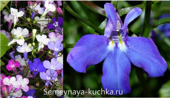 осенние цветы лобелии