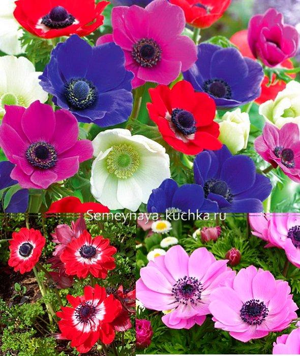 осенние цветы анемоны