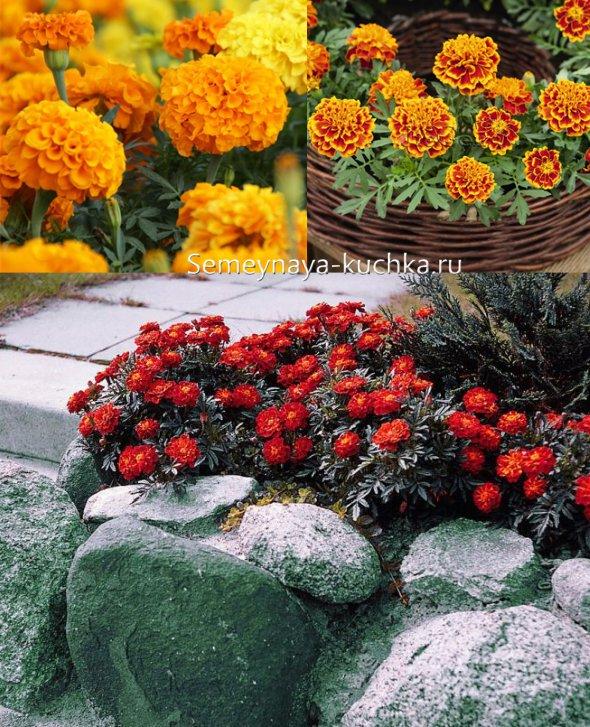 осенние цветы бархатцы