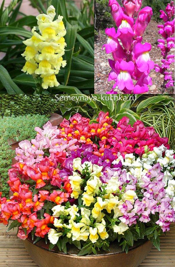 осенние цветы львиный зев