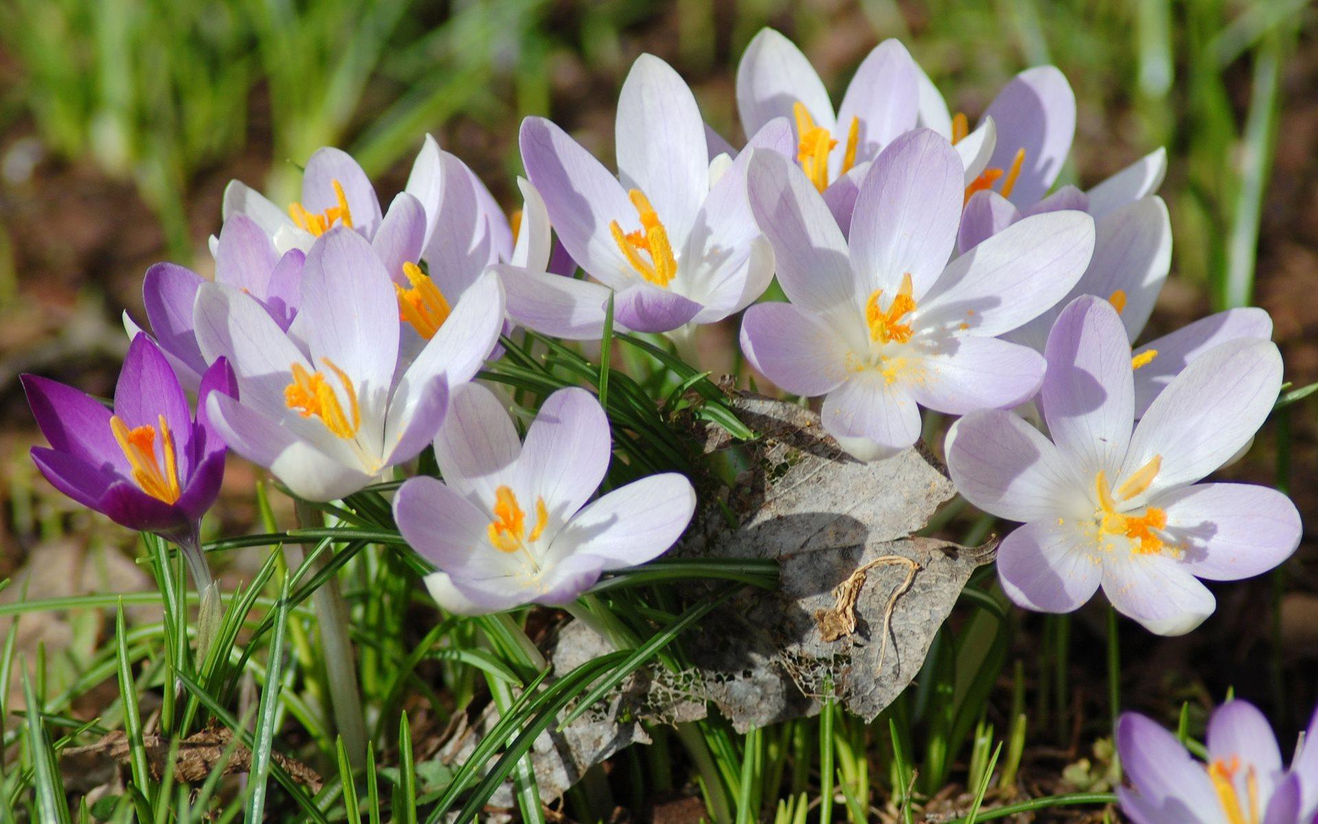 красивые весенние цветы картинка на обои
