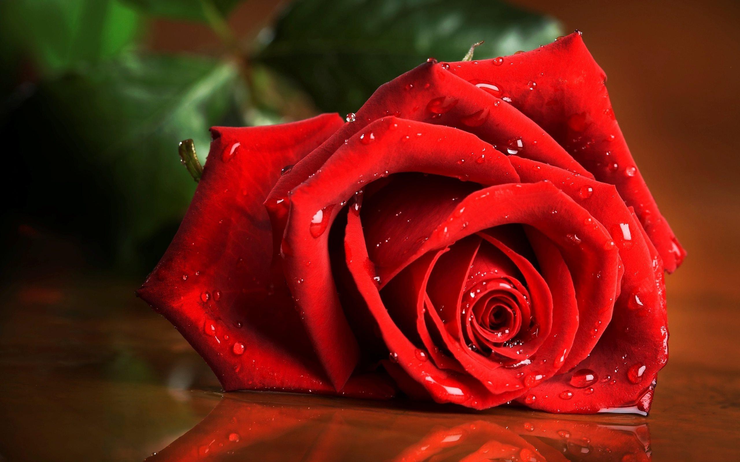красивая роза картинка в хорошем качестве