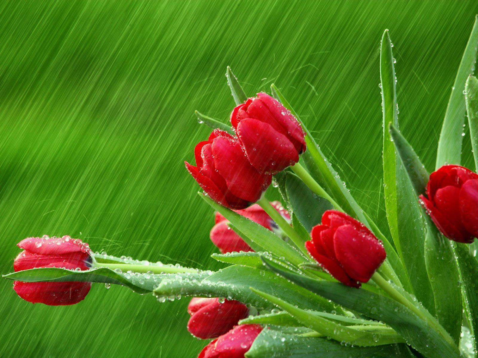 красивые цветы тюльпаны картинка на рабочий стол