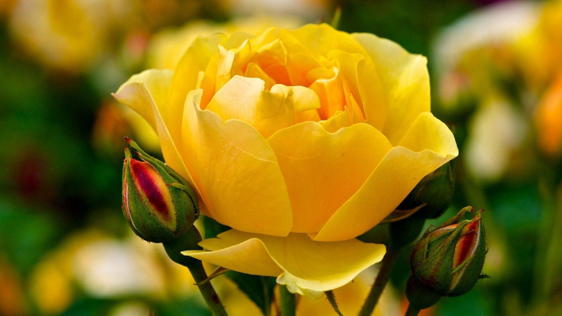 красивая роза желтая картинка цветы