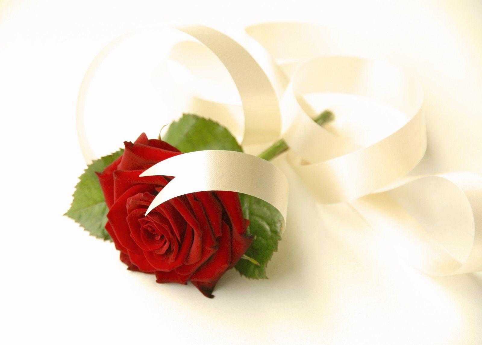 красивые цветы роза на экран ноутбука
