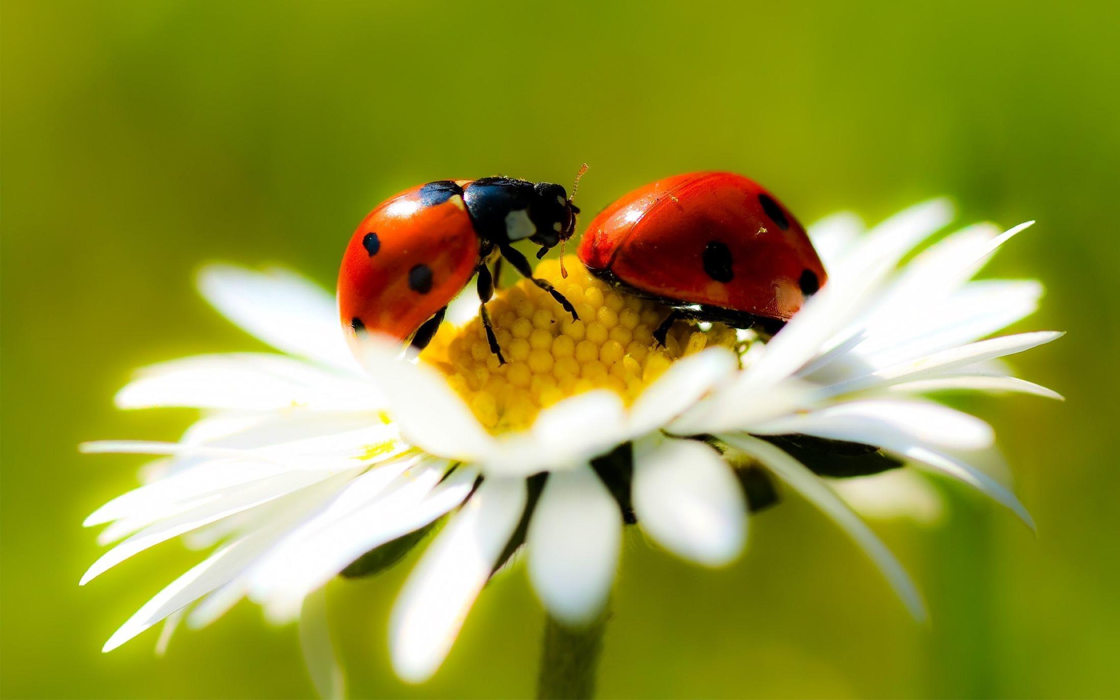 красивые цветы ромашка