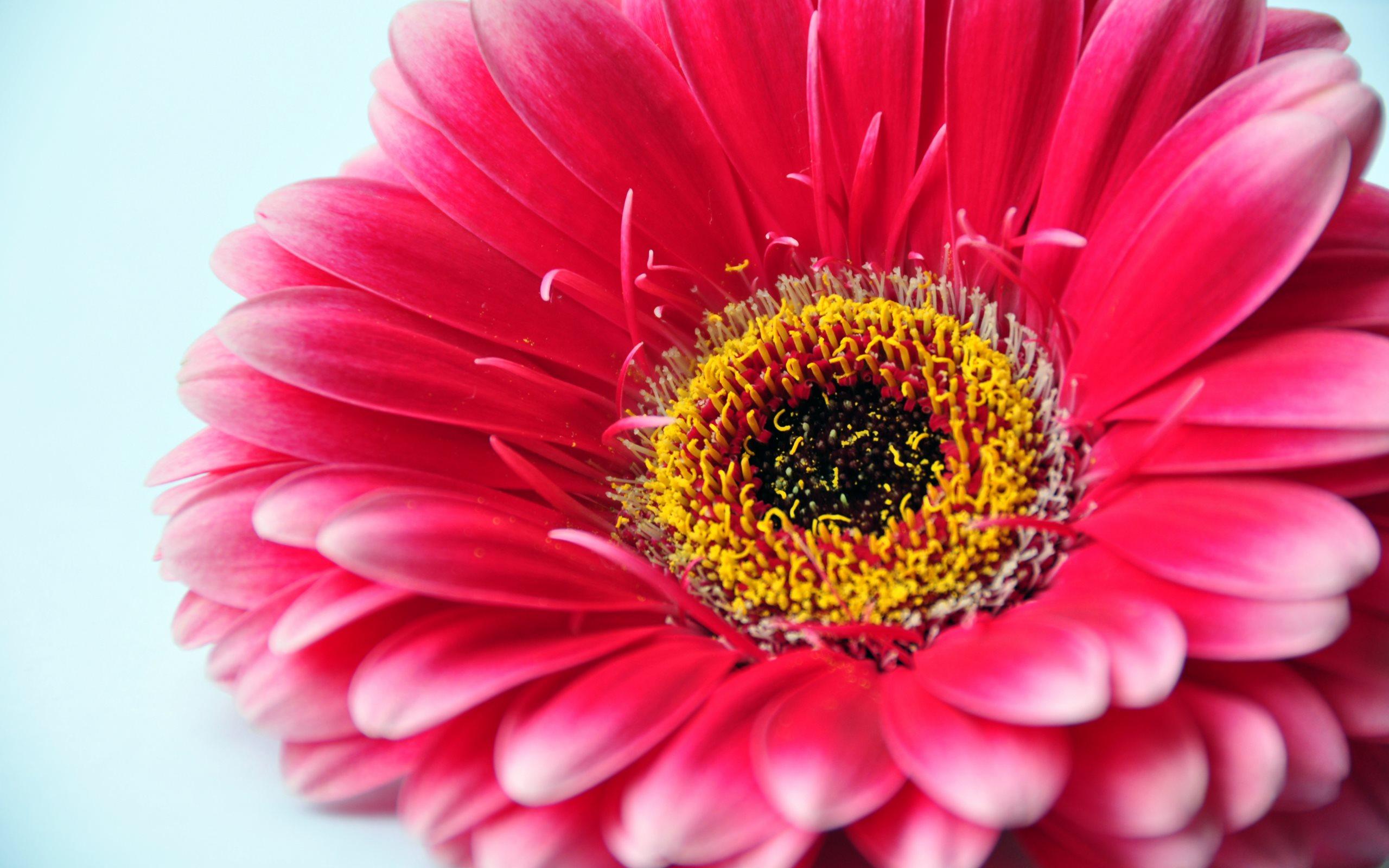 красивый цветок герберы картинка макро