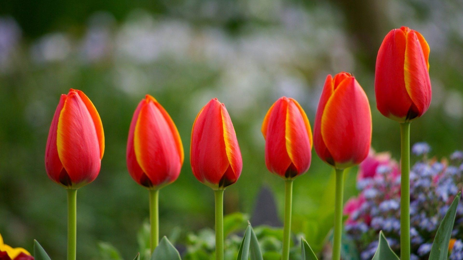 красивые тюльпаны на рабочий стол