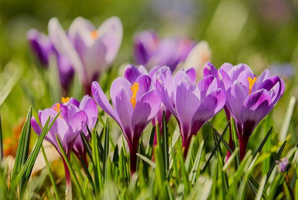 красивые цветы картинка крокусы