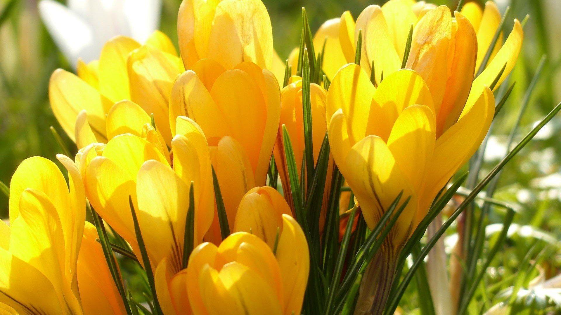 красивые цветы фото обои крокусы