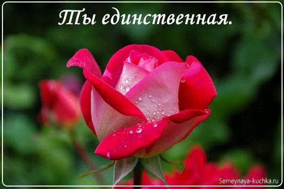 нежная роза распускается картинка фото