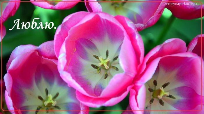 Красивые тюльпаны цветы открытка