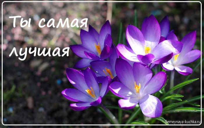 Красивые цветы крокусы фото