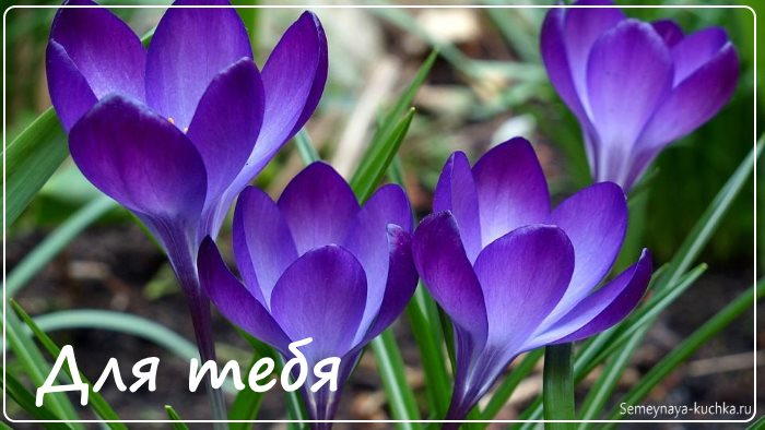 нежные красивые цветы крокусы картинка фото