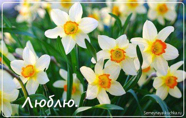 цветы нарциссы красивые