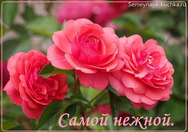 розы красивые картинки для девушки