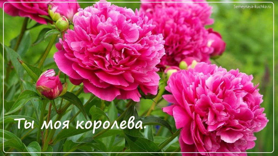 Красивые цветы пионы картинка