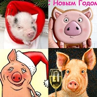открытки со свиньями