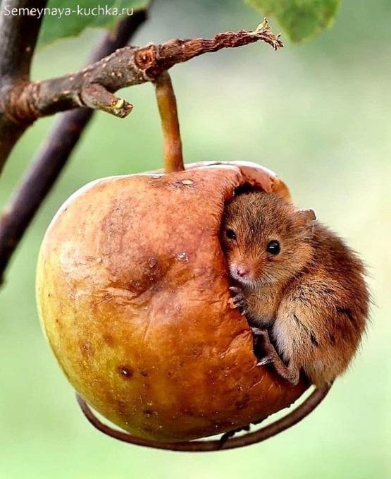 мышь в яблоке фото
