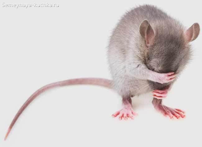 мышка крыса закрывает лапкой лицо на белом фоне