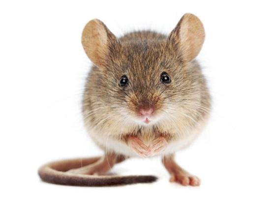 мышка на белом фоне фото красивое