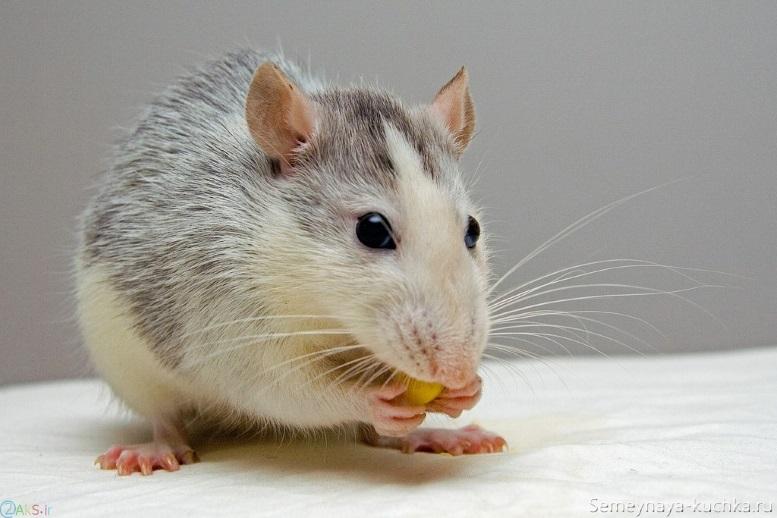 мышь есть зернышки