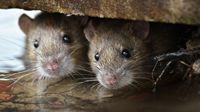 две мыши прячутся фото