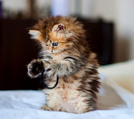 милый котенок пестрый пушистый