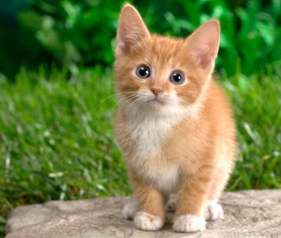 милый рыжий котенок с белой грудкой