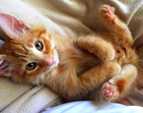 рыжий котенок лапками к верху