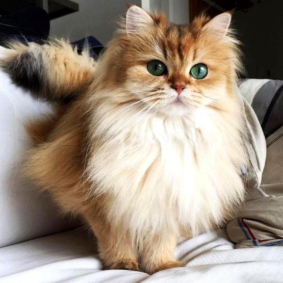 рыжий пушистый кот с белой грудкой