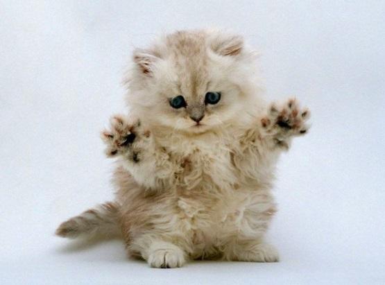 милый котенок белый пушистый