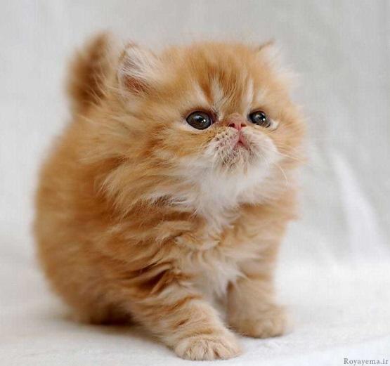 милый котенок рыжий пушистый