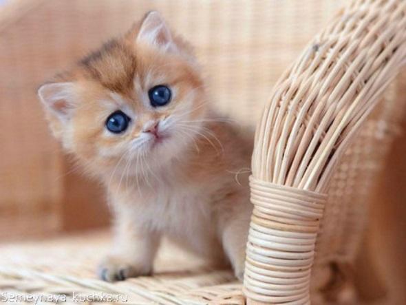 милый рыжий котик с голубыми глазами