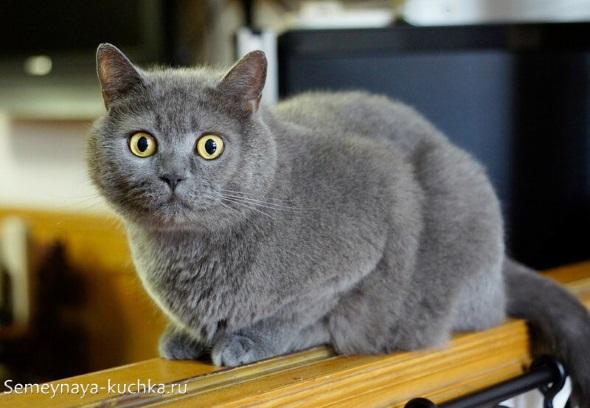 милый котик британец с желтыми глазами