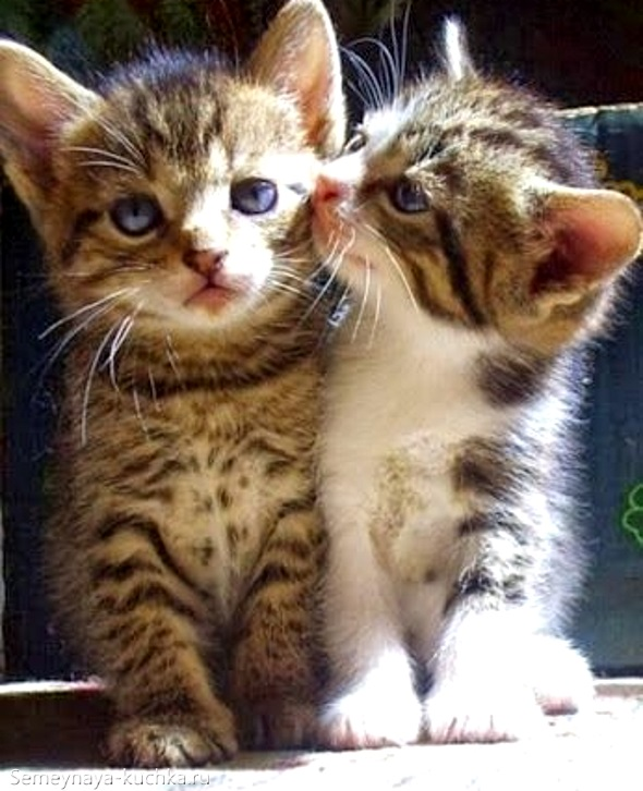 два котенка лижут друг друга