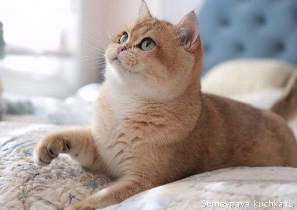милый котик рыжий толстый