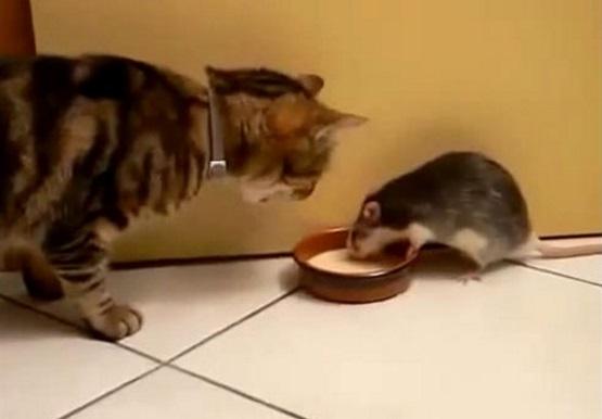 мышь есть из миски кота