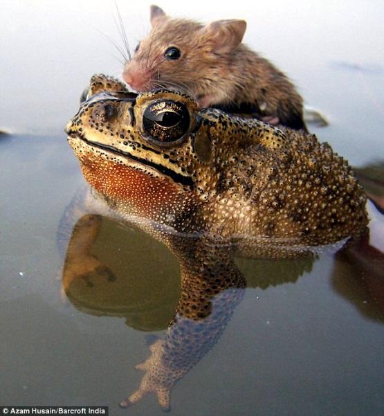 мышь на жабе фото