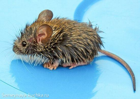 мокрая мышь