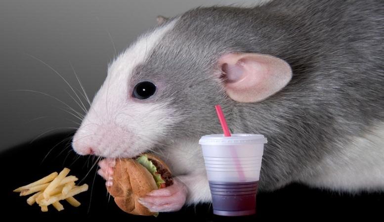мышь кушает бургер