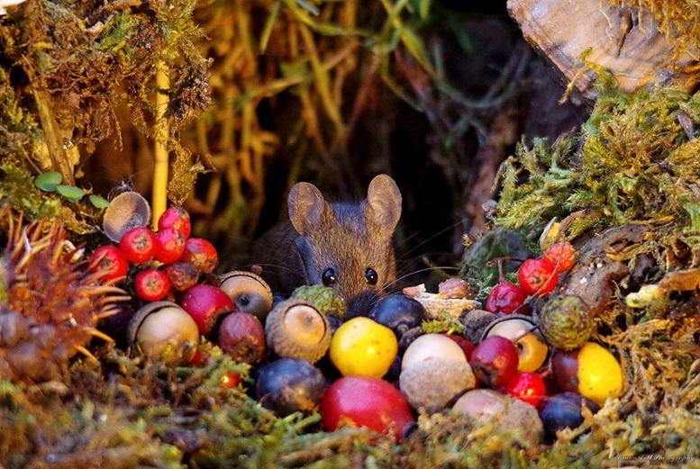мышь с орешками и плодами шиповника