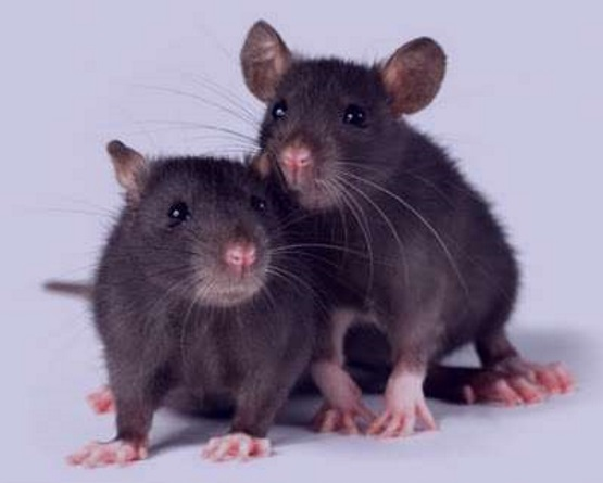 две крысы мышонка