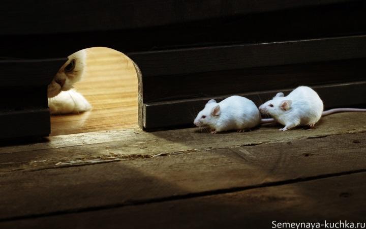 белые мышки караулит кот фото