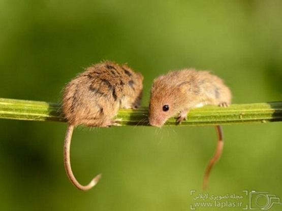две мышки полевки в лесу