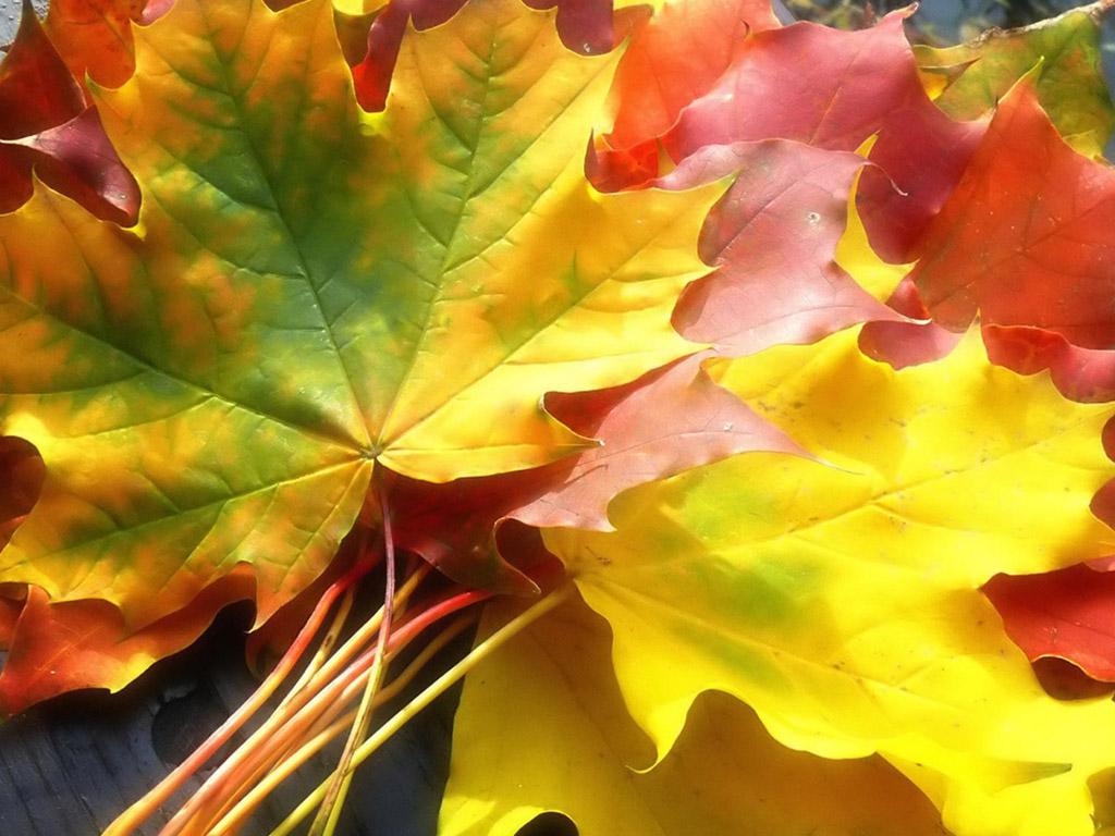 картинки листопад кленовые листья