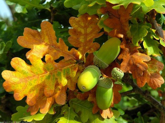 картинки листопад дуб желуди