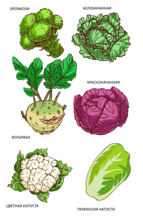 картинка для детей виды капусты