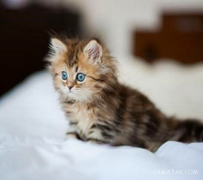 красивый пушистый котенок